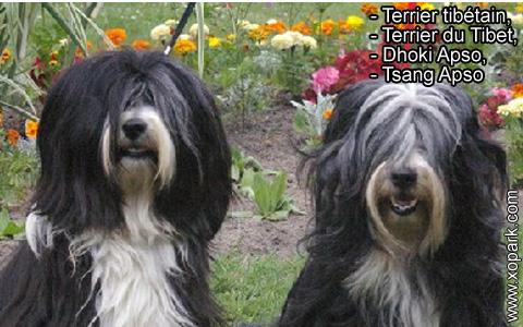Terrier tibétain – Terrier du Tibet – Dhoki Apso – Tsang Apso – xopark3