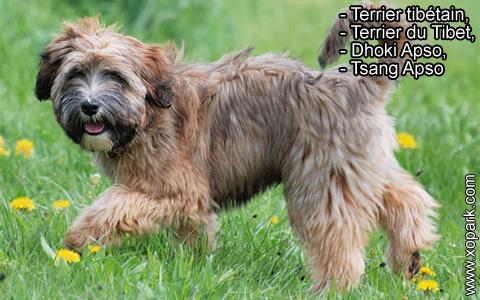Terrier tibétain – Terrier du Tibet – Dhoki Apso – Tsang Apso – xopark4