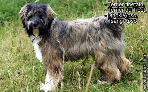 Terrier tibétain – Terrier du Tibet – Dhoki Apso – Tsang Apso – xopark5