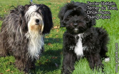 Terrier tibétain – Terrier du Tibet – Dhoki Apso – Tsang Apso – xopark6