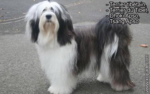 Terrier tibétain – Terrier du Tibet – Dhoki Apso – Tsang Apso – xopark7