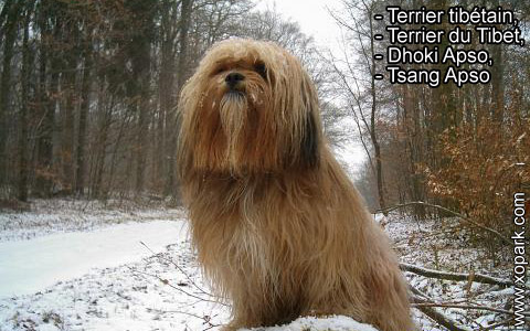 Terrier tibétain – Terrier du Tibet – Dhoki Apso – Tsang Apso – xopark8
