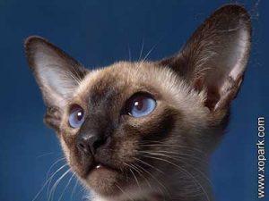 Thaï ,Thaï cat,Old-style Siamese,Old-type