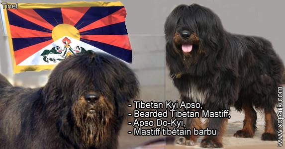 Tibetan Kyi Apso, Bearded Tibetan Mastiff, Apso Do-Kyi, Mastiff tibétain barbu