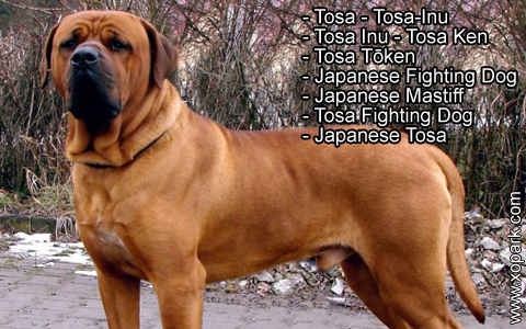 tosa - tosa-inu - japanese mastiff - tosa fighting dog - japanese