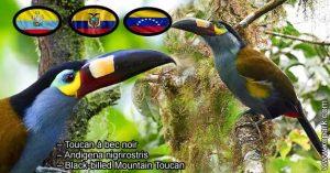 Toucan à bec noir – Andigena nigrirostris – Black-billed Mountain Toucan