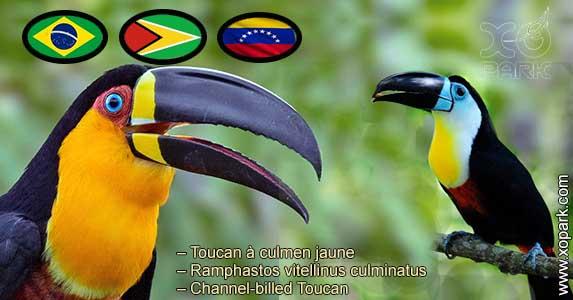Toucan à culmen jaune – Ramphastos vitellinus culminatus – Channel-billed Toucan