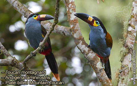 Toucan montagnard – Andigena laminirostris – Plate-billed Mountain Toucan- xopark02