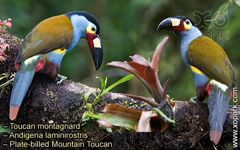 Toucan montagnard – Andigena laminirostris – Plate-billed Mountain Toucan- xopark03
