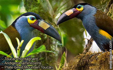Toucan montagnard – Andigena laminirostris – Plate-billed Mountain Toucan- xopark05
