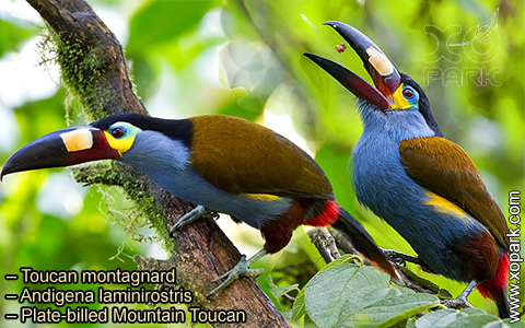Toucan montagnard – Andigena laminirostris – Plate-billed Mountain Toucan- xopark06
