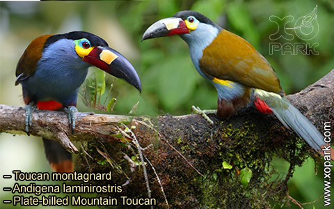 Toucan montagnard – Andigena laminirostris – Plate-billed Mountain Toucan- xopark08