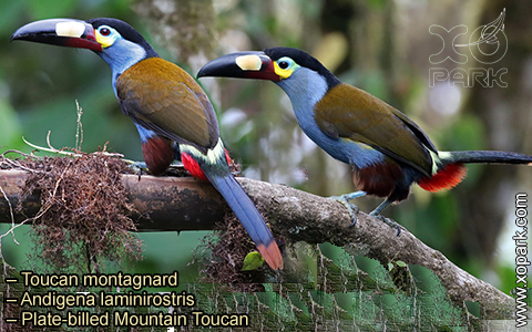 Toucan montagnard – Andigena laminirostris – Plate-billed Mountain Toucan- xopark09