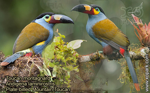 Toucan montagnard – Andigena laminirostris – Plate-billed Mountain Toucan- xopark10