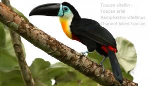 Toucan vitellin - Toucan ariel – Ramphastos vitellinus – Channel-billed Toucan