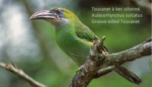 Toucanet à bec sillonné – Aulacorhynchus sulcatus – Groove-billed Toucanet