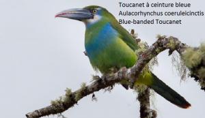 Toucanet à ceinture bleue – Aulacorhynchus coeruleicinctis – Blue-banded Toucanet
