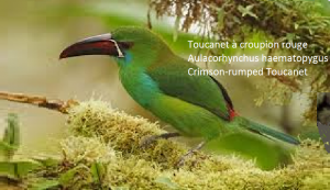 Toucanet à croupion rouge – Aulacorhynchus haematopygus – Crimson-rumped Toucanet