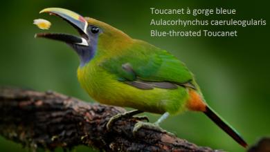 Toucanet à gorge bleue – Aulacorhynchus caeruleogularis – Blue-throated Toucanet