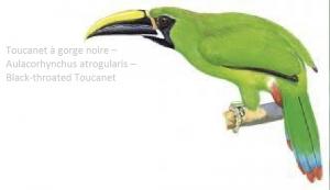 Toucanet à gorge noire – Aulacorhynchus atrogularis – Black-throated Toucanet
