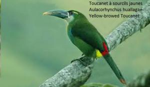 Toucanet à sourcils jaunes – Aulacorhynchus huallagae – Yellow-browed Toucanet