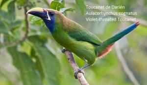 Toucanet de Darién – Aulacorhynchus cognatus – Violet-throated Toucanet