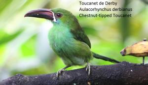 Toucanet de Derby – Aulacorhynchus derbianus – Chestnut-tipped Toucanet
