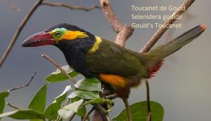 Toucanet de Gould – Selenidera gouldii – Gould's Toucanet