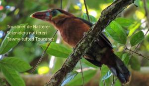 Toucanet de Natterer – Selenidera nattereri – Tawny-tufted Toucanet