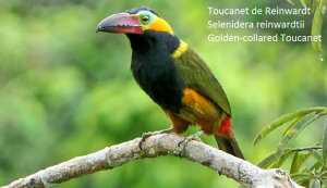 Toucanet de Reinwardt – Selenidera reinwardtii – Golden-collared Toucanet