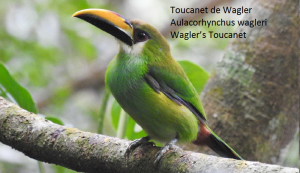 Toucanet de Wagler – Aulacorhynchus wagleri – Wagler's Toucanet