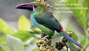 Toucanet de Whitely – Aulacorhynchus whitelianus – Tepui Toucanet