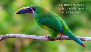 Toucanet émeraude – Aulacorhynchus prasinus – Emerald Toucanet