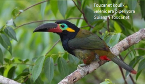 Toucanet koulik – Selenidera piperivora – Guianan Toucanet