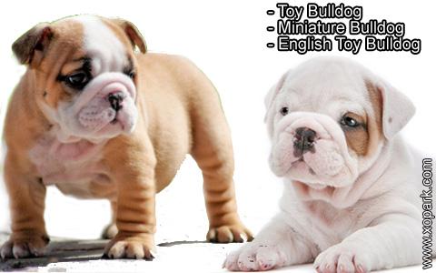 Toy Bulldog – Miniature Bulldog – English Toy Bulldog – xopark1