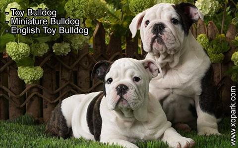 Toy Bulldog – Miniature Bulldog – English Toy Bulldog – xopark2