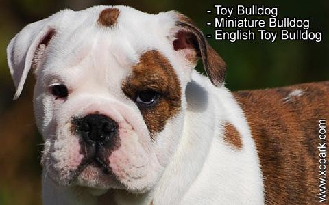Toy Bulldog – Miniature Bulldog – English Toy Bulldog – xopark6