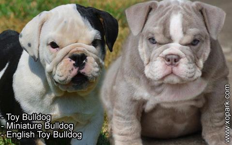 Toy Bulldog – Miniature Bulldog – English Toy Bulldog – xopark7