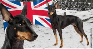 Toy Manchester Terrier, Manchester Terrier, Terrier de Manchester