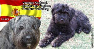 Vlaamse Koehond, Bouvier des Flandres, Flanders Cattle Dog