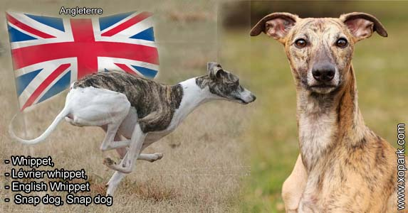 Whippet, Lévrier whippet, English Whippet or Snap dog, Snap dog