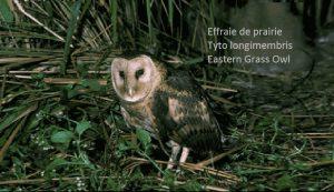 ffraie de prairie Tyto longimembris Eastern Grass Owl