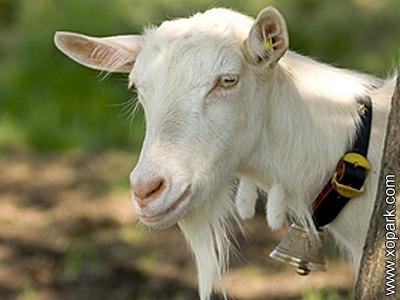 Bovidés: Chèvres
