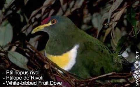 Ptilinopus rivoli – Ptilope de Rivoli – White-bibbed Fruit Dove – xopark3
