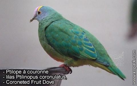 Ptilope à couronne, lilas Ptilinopus coronulatus, Coroneted Fruit Dove – xopark1