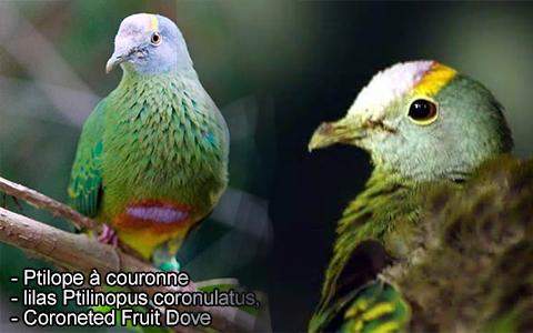 Ptilope à couronne, lilas Ptilinopus coronulatus, Coroneted Fruit Dove – xopark2
