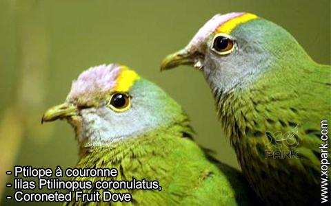 Ptilope à couronne, lilas Ptilinopus coronulatus, Coroneted Fruit Dove – xopark3
