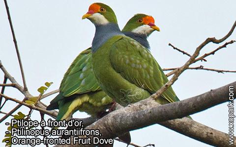 Ptilope à front d'or – Ptilinopus aurantiifrons – Orange-fronted Fruit Dove – xopark1