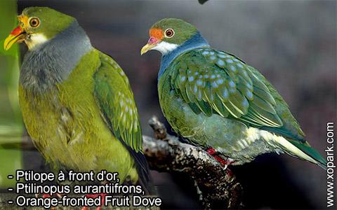 Ptilope à front d'or – Ptilinopus aurantiifrons – Orange-fronted Fruit Dove – xopark2