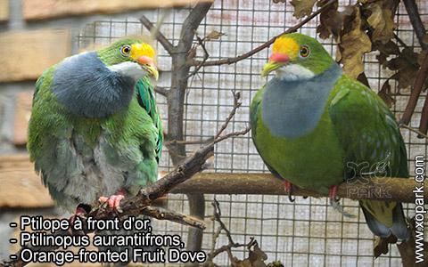 Ptilope à front d'or – Ptilinopus aurantiifrons – Orange-fronted Fruit Dove – xopark3